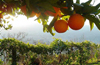 Oranges in the orchards...